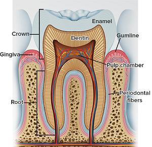 طبقات الاسنان.png